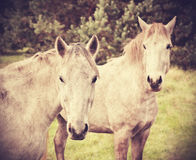 Retro style picture of two young horses Royalty Free Stock Images