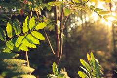 Retro-styled backlit leaves at forest Stock Images
