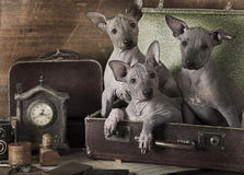 Retro styled puppies portrait. Retro styled portrait of Mexican xoloitzcuintle puppies Stock Images