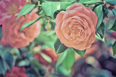 Retro stylized photography of rose flowers. Stock Photography
