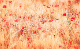 Retro sunny poppy field Stock Photo