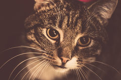 Retro Tabby Cat Portrait Stock Photo