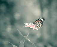 Retro tone butterfly on pink flower in the garden on sunny day Stock Photography