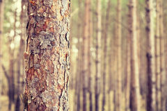 Retro tone pine tree trunk, shallow depth of field. Stock Photo