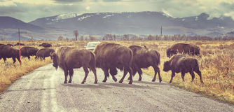 Retro toned Herd of American bison crossing road at sunrise. Stock Photography