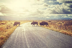Retro toned herd of American bison crossing road at sunrise. Stock Photos