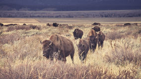 Retro toned herd of American bison grazing in the Grand Teton. Stock Photography