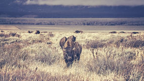 Retro toned herd of American bison grazing in the Grand Teton National Park. Stock Photography