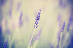 Retro toned lavender flower, shallow depth of field. Royalty Free Stock Image