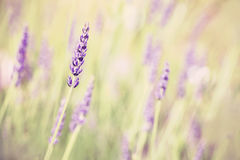 Retro toned lavender flower, shallow depth of field. Stock Image