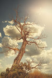 Retro toned lonely withered tree against sun with flare effect Royalty Free Stock Photography