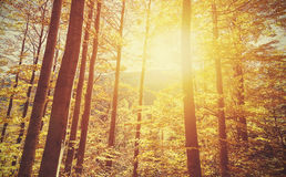 Retro toned picture of autumnal forest at sunset. Stock Photos