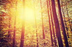 Retro toned picture of autumnal forest at sunset Stock Photos