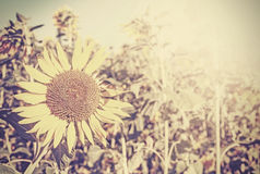 Retro toned sunflowers, nature background. Stock Image