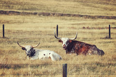 Retro toned Two Texas Longhorns resting on a dry meadow. Stock Photography