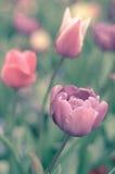 Retro tulipani pastelli Fotografia Stock