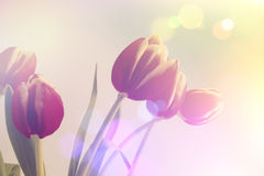 Retro tulips Stock Image