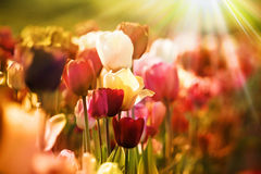 Retro tulips in sunlight Stock Photos