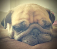 Retro Vintage filter of close up face of cute pug puppy dog slee. Ping rest lay down lie on bed Stock Photography