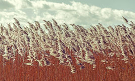 Retro vintage filtered dry reeds nature background. Stock Photos