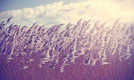 Retro vintage filtered dry reeds nature background. Stock Images