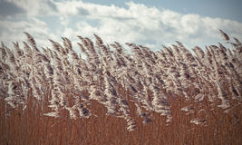 Retro vintage filtered dry reeds nature background. Royalty Free Stock Photo