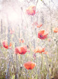 Retro vintage filtered wild meadow with poppy flowers at sunrise Stock Photos