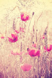 Retro vintage filtered wild meadow with poppy flowers at sunrise Stock Image