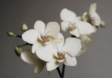 Retro vita orkidér Arkivfoton