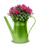 Retro watering can with red chrysanthemum Royalty Free Stock Photos
