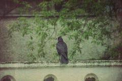 Retro Wild Black Raven Stock Photos