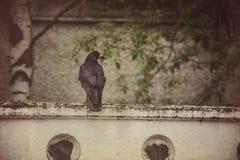 Retro Wild Black Raven Royalty Free Stock Image