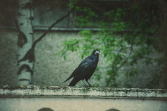 Retro Wild Black Raven Royalty Free Stock Photography