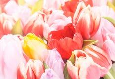 Retro wiosny tło świezi tulipany obrazy stock