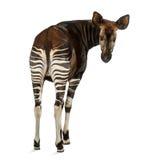 Retrovisione degli okapi, esaminante indietro la macchina fotografica fotografie stock