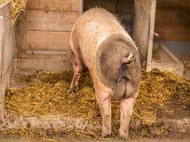 Retrovisione del maiale maschio svevo fotografia stock