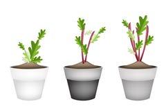Rettich-oder der roten Rübe Anlage in den keramischen Blumen-Töpfen Stockfotos