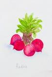 Rettichaquarell gemalt Lizenzfreies Stockfoto