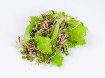 Rettichsprösslinge unter frischen grünen Kopfsalatblättern Stockbilder
