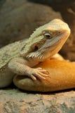 Rettile barbuto del drago Fotografie Stock