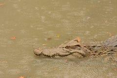 Rettile degli alligatori Immagini Stock
