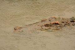 Rettile degli alligatori Immagine Stock Libera da Diritti