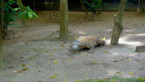 Rettile del drago di Komodo in zoo stock footage