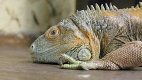 Rettile dell'iguana stock footage