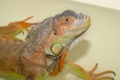 Rettile dell'iguana di verde del ritratto dell'animale domestico esotico che prende i bagni quotidiani fotografie stock