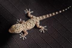 Rettile macchiato del gecko su tessuto nero Fotografia Stock