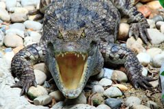 Rettili, coccodrilli d'acqua dolce Fotografie Stock Libere da Diritti