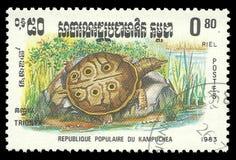Rettili, tartaruga di Softshell Immagini Stock