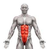Retto Abdominis - muscoli addominali - muscoli di anatomia isolati illustrazione vettoriale