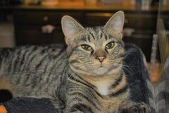 Rettung Cat Greets Customers bei Cat Cafe lizenzfreies stockbild